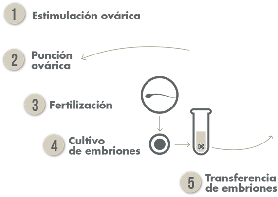 Fases de tratamiento FIV - IVF treatment phases